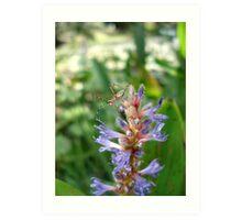 Handsome  Meadow Katydid Nymph Art Print