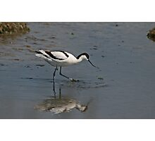 Foraging Avocet Photographic Print