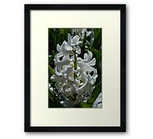 Spring white hyacinth flowers and green leaves. Floral garden photo. Framed Print