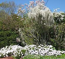 Garden with flowering broom and daisies. Toowoomba Qld. Australia by Marilyn Baldey