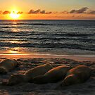 Sea Lion Sunset by Sue  Cullumber