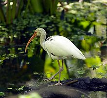 Ibis by Michael Wolf