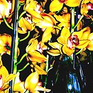 orchids by francesm
