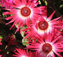 Pink/red Livingstone Daisies with white centres. by Marilyn Baldey