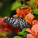 butterfly and bouganvillea by kellimays