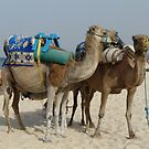 Camels in Tunisia by LeaLea