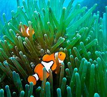 Clownfish Kingdom by morealtitude