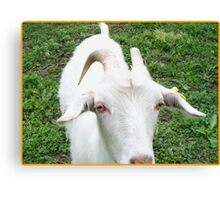 Charming goat Canvas Print