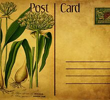 Post Card - Allium plant by © Kira Bodensted