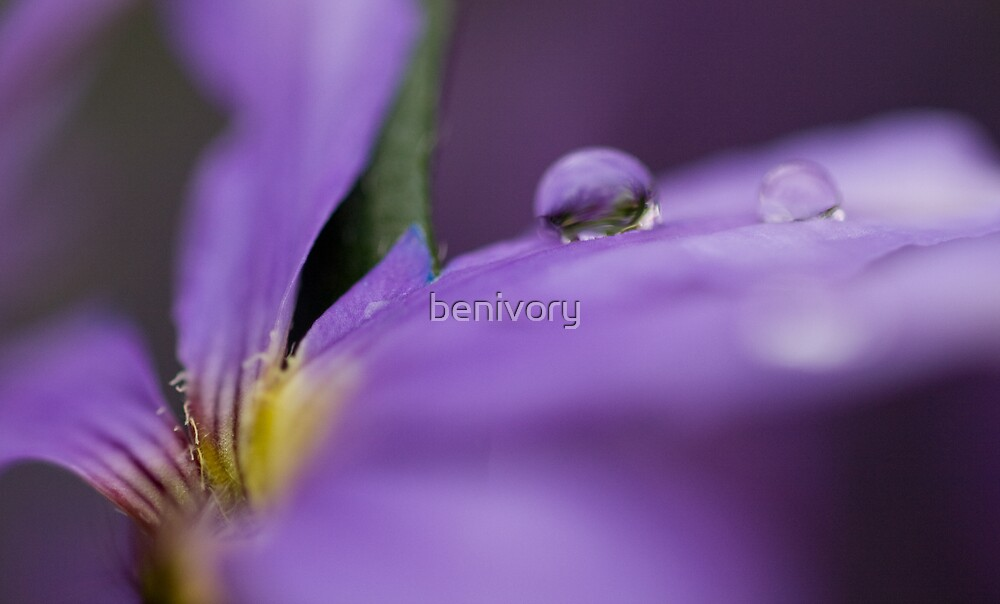 Transient purple beauty by benivory