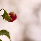 Winter sweetpeas by benivory