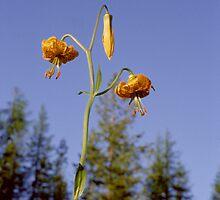 Wild Tiger Lily by Allen Lucas