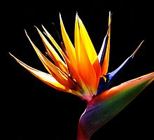 Bird of Paradise by Barbara  Brown