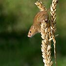 Harvest mouse on an ear of wheat by GrahamCSmith