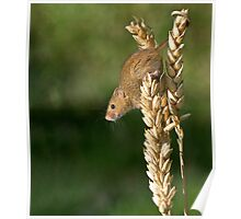Harvest mouse on an ear of wheat Poster