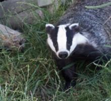 Badger leaving its sett Sticker
