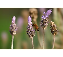 Lavender, a bee and the Smooth Trans Focus lens Photographic Print