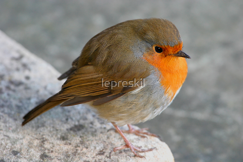 Plump robin by lepreskil