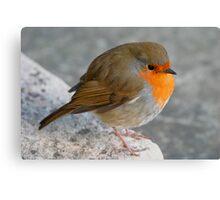 Plump robin Canvas Print