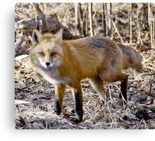 Just Foxy!!! Canvas Print