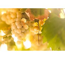 Harvest Time. Sunny Grapes IV Photographic Print