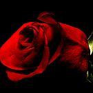 Rose by Charles Adams