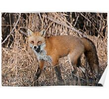 A Foxes' Glare Poster