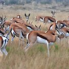 Springbok, Central Kalahari Game Reserve, Botswana, Africa by Adrian Paul