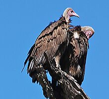Hooded Vultures, Moremi Game Reserve, Botswana, Africa by Adrian Paul