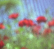 Poppies growing up fence in hot summer square Hasselblad medium format film analog photograph Sticker