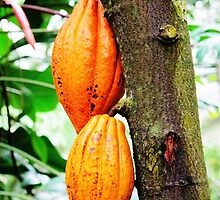 Cacao Fruit  by Ethna Gillespie