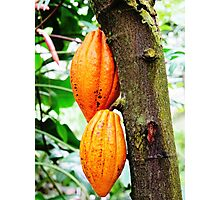 Cacao Fruit  Photographic Print