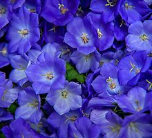 Blue Bells Carpet. Amsterdam Floral Market by JennyRainbow