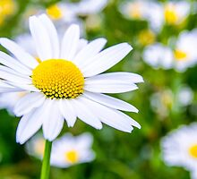 Alpine Daisy  by focusonphotos