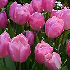 Pretty spring pink purple tulip  flowers. floral garden photography. by naturematters