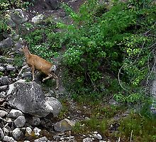 Montana Rock Hopper by CarolM