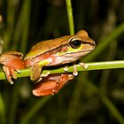 Blue Mountains Tree Frog Litoria citropa by Nephrurus