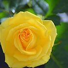 pretty yellow rose flower. floral nature photography. by naturematters