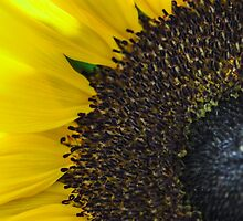 Sunflower by chris-cooper