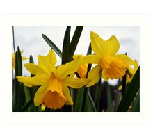 yellow daffodil flowers. floral photography. Art Print