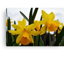 yellow daffodil flowers. floral photography. Canvas Print