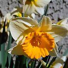 yellow and white  daffodil flowers. floral photography. by naturematters