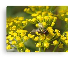 Fly on fennel flowers Canvas Print