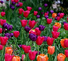 colorful tulips by LisaM