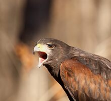 Harris Hawk by Gregg Williams