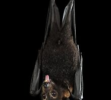 Spectacled Flying Fox by Juergen Freund