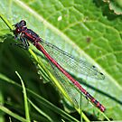 Large Red Damselfly by Mark Chapman