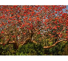 Coral tree ablaze with blooms Photographic Print