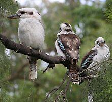 Kookaburra by Australis