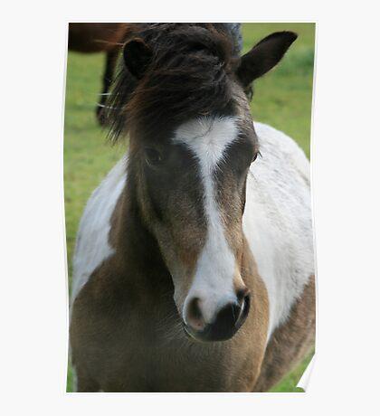 Quarter horse Cross Miniture pony :) Poster